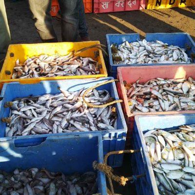 Taluka Dapoli Harnai Bunder Fish Auction7-min